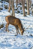 Beautiful deer on snow land, young high deer looks at us. royalty free stock photography