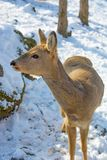 Beautiful deer on snow land, young high deer looks at us. Stock Image