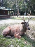 Beautiful deer wildlife. On the floor in front of   Thailand Natural Attractions Royalty Free Stock Photo