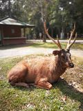 Beautiful deer wildlife. On the floor in front of   Thailand Natural Attractions Stock Photo