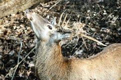 Beautiful deer Stock Photo