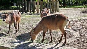Beautiful deers feeding at summer meadow. Herd of deers feeding in farm at sunny day stock video footage