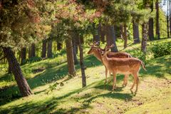 Beautiful deers in forest at sunrise, Europe stock images