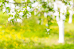Beautiful defocused landscape with tree and lawn with flowers, blossoming orchard or garden Stock Photos