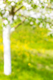 Beautiful defocused landscape with tree and lawn with flowers, blossoming orchard or garden Royalty Free Stock Photos