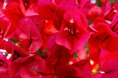 Beautiful delicate blooming bougainvillea flowers of red crimson magenta pink color palette in summer spring. Floral backdrop. Template for wedding engagement stock photos