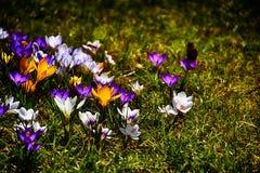 Delicate colorful corkscrews growing in the warm spring sun amo Stock Photos