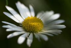 A daisy hiding in the shadow. Beautiful and delicate daisy hiding in the shadow, protecting itself from the strong sunrays Royalty Free Stock Images
