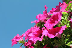 Beautiful delicate flowers petunia Stock Photography