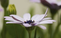 African Daisy in full bloom. A beautiful and delicate garden flower known as Osteospermum or African Daisy Royalty Free Stock Photo