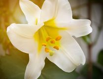 Beautiful delicate Lily flower yellow in the sun Royalty Free Stock Photos