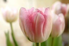 Beautiful delicate pale pink fresh natural tulip spring royalty free stock images