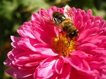 Wonderful bright pink chrysanthemum flowers close up stock photo