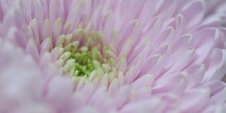 Beautiful delicate pink chrysanthemum flower. Beautiful background of chrysanthemum flower with wonderful delicate pink petals, macro stock photo
