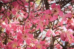 Beautiful delicate pink large flowers Chorisia or Ceiba speciosa growing on a tree whose bark is covered royalty free stock photography