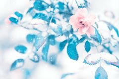 Free Beautiful Delicate Pink Roses And Blue Leaves In Snow And Frost In A Winter Park. Christmas Artistic Image Stock Photo - 124572340