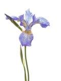 Beautiful delicate purple iris Stock Images