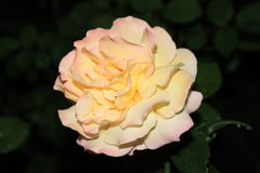 Beautiful delicate rose. Photo closeup of a rosebud gentle pink and yellow colors on a dark background of leaves Royalty Free Stock Photography