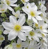 Beautiful delicate white clematis daisy daisies flowers petals spring summer plants. Photo of white delicate clematis daisy flowers plants growing in a kent park royalty free stock photo