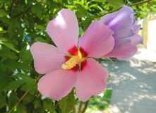 Beautiful, delicate, white hibiscus flower. A beautiful, gentle, pink hibiscus flower, grows in hot, tropical countries Royalty Free Stock Photo