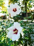 Beautiful, delicate, white hibiscus flower. Grows in hot, tropical countries Stock Image