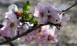 Flowering almond tree branch on a blurred background. Almond orchard near Jerusalem, Israel stock image