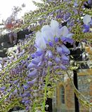 Beautiful delicate wisteria flowers petals spring summer plants. Photo of purple wisteria delicate flowers plants growing in a kent park in full bloom may 2019 stock photography