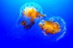 Lions mane jellyfish cyanea capillata in a aquarium stock image