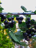 Beautiful, delicious blackcurrant berries on a branch royalty free stock photography
