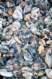 Beautiful and delicious fresh water clams. Italy Stock Photos