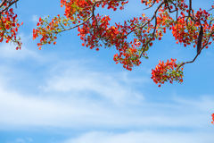 Beautiful Delonix Regia in red bloom, located at a park in VietN Royalty Free Stock Photography