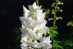 Beautiful delphinium flower Royalty Free Stock Photography