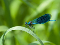 Beautiful Demoiselle Royalty Free Stock Image