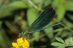 Beautiful Demoiselle - Calopteryx virgo Royalty Free Stock Photo