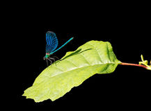 Beautiful Demoiselle, Calopteryx virgo, European damselfly in su Stock Photo
