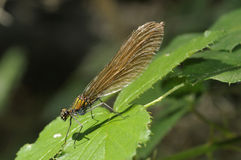 Beautiful Demoiselle Royalty Free Stock Photos