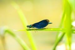 Beautiful demoiselle, Calopteryx virgo Stock Images