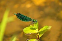 Beautiful demoiselle, Calopteryx virgo Royalty Free Stock Images