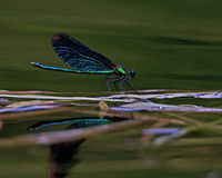 Beautiful Demoiselle, Calopteryx virgo Royalty Free Stock Image
