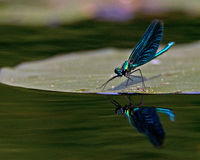 Beautiful Demoiselle, Calopteryx virgo Stock Photos