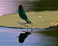 Beautiful Demoiselle, Calopteryx virgo Stock Photo
