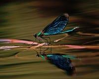 Beautiful Demoiselle, Calopteryx virgo Stock Photo