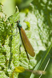 Beautiful Demoiselle damselfly Stock Images