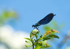 Beautiful Demoiselle Male Damselfly in Sunshine Stock Photography