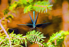 Beautiful demoiselle male frontal picture Royalty Free Stock Photo