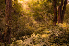 Beautiful Dense Forest. Rays Of Sunlight Peeking Through A Surreal Forest Setting royalty free stock photo