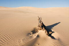 Beautiful desert landscape with the dead tree log. Stockton sand dunes in Anna Bay, NSW, Australia. Sand ripples detail with dramatic shadows. Taken in clean day stock photo