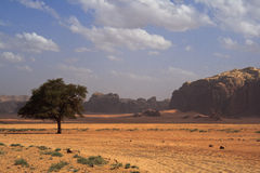 Beautiful desert landscape with solitary tree. In Jordan Stock Photography