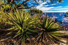 Beautiful Desert Plants at the Magnificent Grand Canyon in Arizona Royalty Free Stock Images