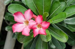 Beautiful Desert rose flower in the garden with blurry green leaf in the background, Mock azalea flowers Stock Photo